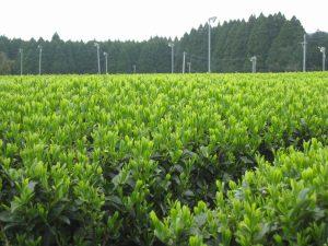 さえみどりの茶畑