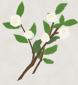 白い花が咲いているお茶の木